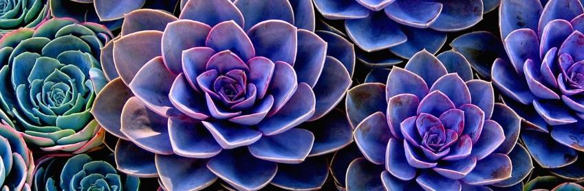 A healthy succulent plant