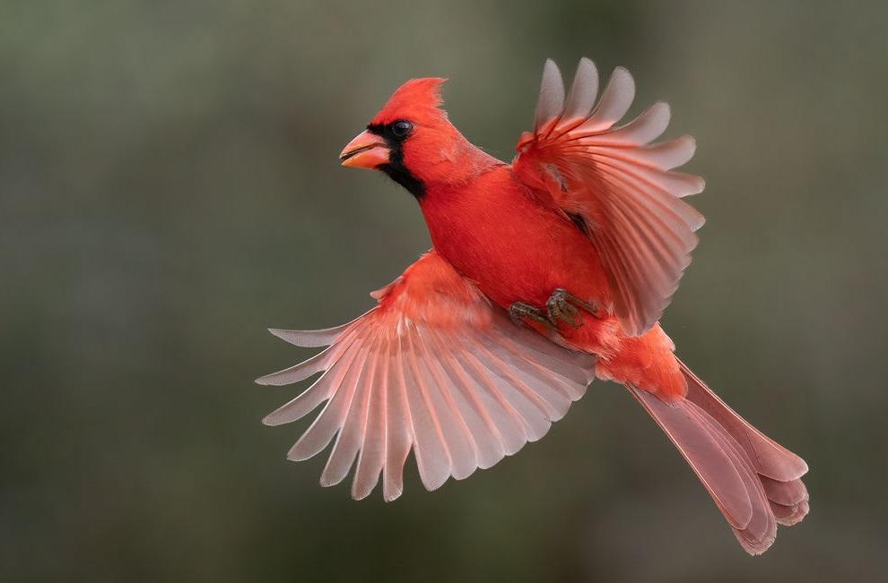 The symbols behind the apparition of the cardinal bird